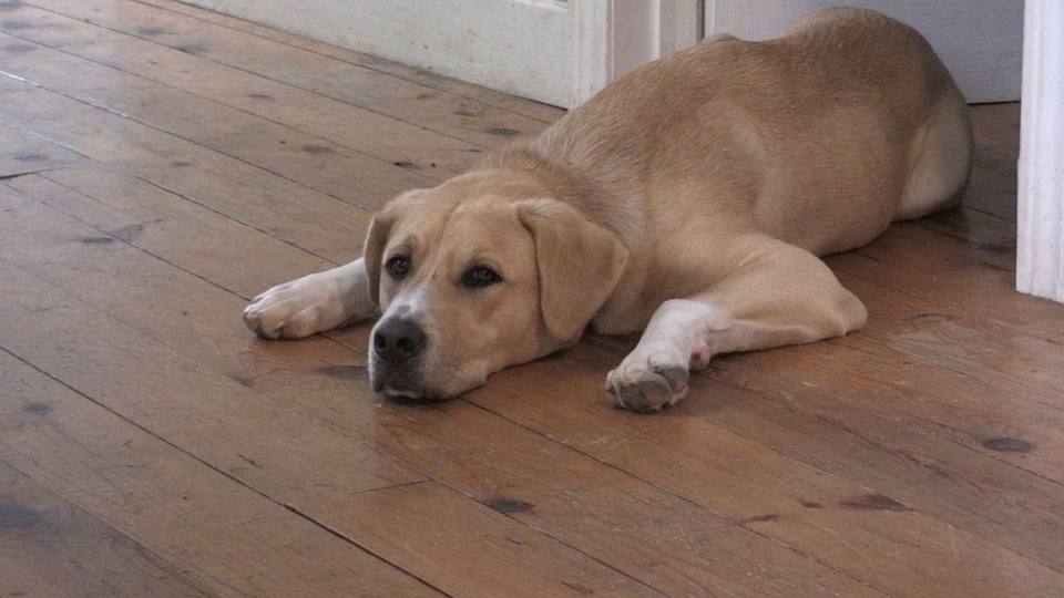 Jake - Innisfil's missing pup