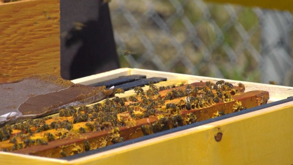 A new home sweet home for some busy bees in Edmonton. Sunday May 30, 2021 (CTV News Edmonton)