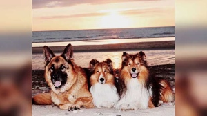 Winston, Finnie and Marley after a fun game of beach frisbee. Photo by Angie Duseigne.