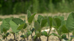 Soybeans need some relief from the lack of rain in eastern Ontario. (Nate Vandermeer/CTV News Ottawa)