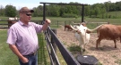 Clarence Dekens watches some of his longhorn cattle near Clinton, Ont. on Wednesday, June 2, 2021. (Scott Miller / CTV News)
