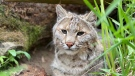 BC the Bobcat is missing from the Saunders Country Critters Zoo and Sanctuary in North Grenville, Ont. Ontario Provincial Police believe someone intentionally let the animal out of its pen over the weekend. (OPP handout)