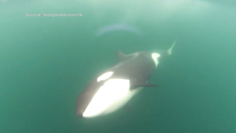 A GoPro camera captures a transient orca exploring a whale watching boat under the waters of B.C.'s coast: (Instagram / @bigdaddystache)