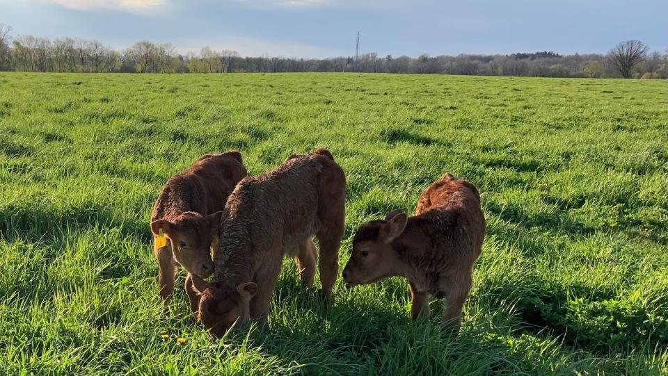 Triplets on Brantford farm