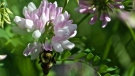 Bee collecting pollen. (Source: Cary Hitchen)