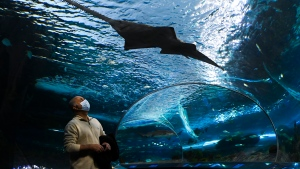 A man wears a mask while watching a sawfish swim past at Ripley's Aquarium of Canada during the COVID-19 pandemic in Toronto on Wednesday, October 28, 2020. THE CANADIAN PRESS/Nathan Denette