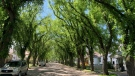 Elm trees are pictured on Wallace Street in Yorkton. (Kaylyn Whibbs / CTV News Regina)