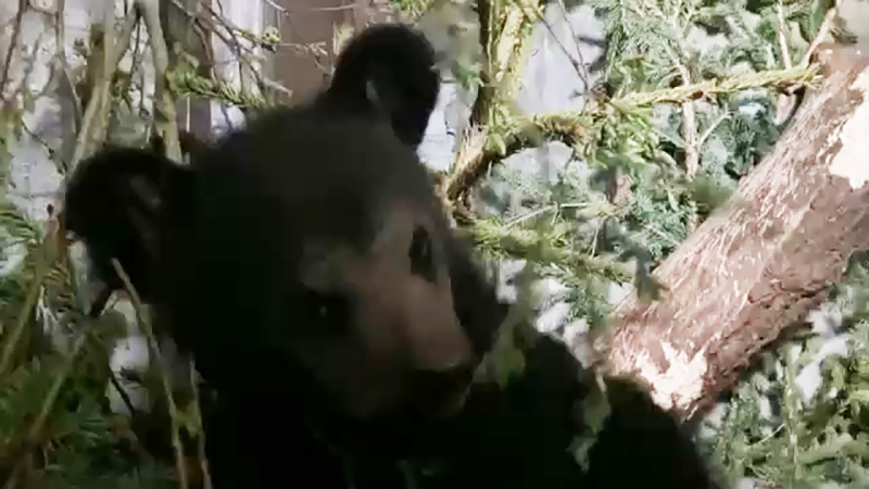 An black bear was removed from a Cochrane animal rehabilitation centre and their permit was revoked. Kevin Fleming reports