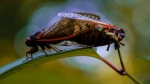 Brood X cicadas mate in Washington, on June 4, 2021. (Carolyn Kaster / AP)
