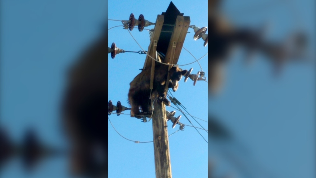 bear tangled in power pole wires