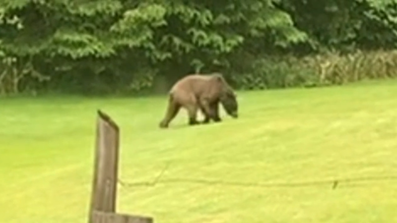 The grizzly bear that attacked Ben McGuffie's goats was seen on the north end of Quadra Island earlier in the week.