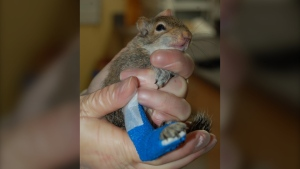 An injured squirrel in the care of the BC SPCA's Wild Animal Rehabilitation Centre. (Wild ARC)