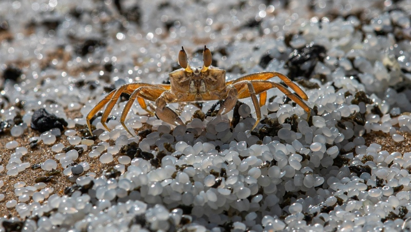 FILE - In this Monday, May 31, 2021 file photo, a crab roams on a beach polluted with polythene pellets that washed ashore from burning ship MV X-Press Pearl anchored off Colombo port at Kapungoda, Sri Lanka. To save the planet, the world needs to tackle twin crises of climate change and species loss together, United Nations scientists said in a joint report released on Thursday, June 10, 2021. (AP Photo/Eranga Jayawardena, File)