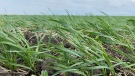 Crops in a field are seen near Pense, Sask., on June 10, 2021. (Gareth Dillistone/CTV News)