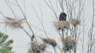 Herons in a heronry in Severn Twp, Ont. on Tues. June 8, 2021 (Ken MacDonald)