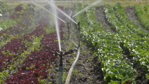 Irrigating lettuce varieties at Dan's Farm in Central Saanich on June 10, 2021 (CTV News)