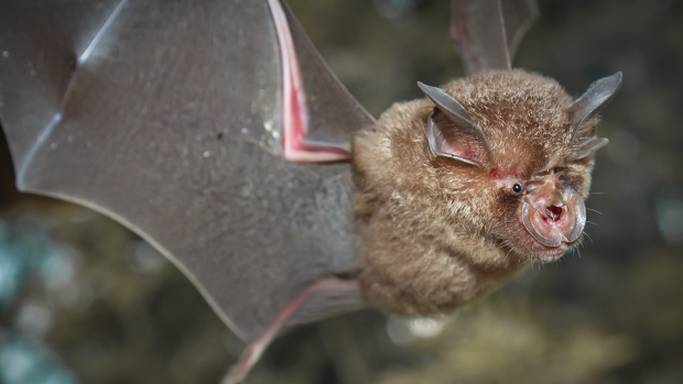 Intermediate Horseshoe Bat (Rhinolophus affinis), that live in caves Is a nocturnal animal. Chinese researchers said they had found a batch of new coronaviruses in bats including one that may be the second-closest yet, genetically, to the COVID-19 virus. (CNN/Shutterstock)