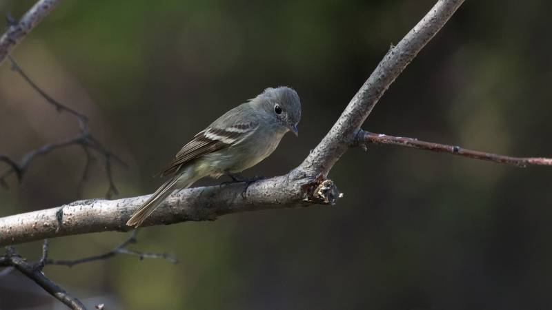 Hammond's flycatcher, which is named after a former US surgeon general who Bird Names for Birds said was racist. (CNN/Shutterstock)