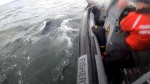 The entangled humpback whale is shown: (Fisheries and Oceans Canada)
