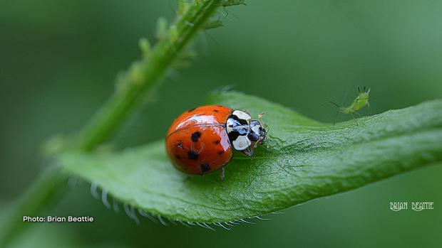 An asian lady beetle munches on an aphid appetizer, as many more meals surround her. (Brian Beattie/CTV Viewer)