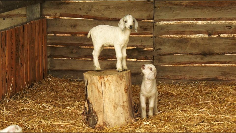 goats, lethbridge, parks, weeds, summer
