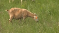 Herds of goats are returning to Lethbridge parks to eat weeds. Austin Lee reports