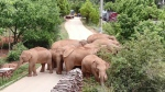 In this photo taken June 4, 2021, and released by the Yunnan Forest Fire Brigade, a migrating herd of elephants graze near Shuanghe Township, Jinning District of Kunming city in southwestern China's Yunnan Province. Already famous at home, China's wandering elephants are now becoming international stars. (Yunnan Forest Fire Brigade via AP)