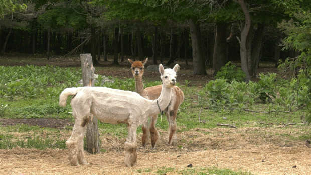 Robert and Denise Martel have been raising alpacas on the Meadowview Alpaca Farm in Bruce Mines for the last 19 years, and although they enjoy farm life, they have decided to put their business up for sale. June 12/21 (Mike McDonald/CTV News Northern Ontario)