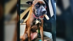 Police describe the lost dog as a brown pit bull named Camper. The dog wears a pink collar and was last seen in the 700 block of Government Street shortly after the incident, police said. (Victoria Police Department)