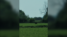 A black bear was spotted in a field in the area of Fernbank Road and Terry Fox Drive on Sunday. (CTV Ottawa viewer photo)