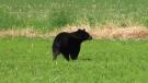 Suburban bear sighting