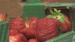 Barrie Hill Farms is starting to sell its fresh strawberries for the new season.