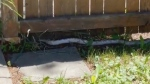 A large snake is on the loose in Winnipeg