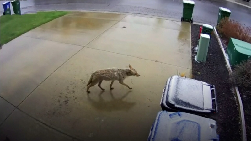 Northwest community concerned by coyotes