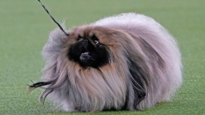 A Pekingese walks with its handler in the Best in Show at the Westminster Kennel Club dog show, Sunday, June 13, 2021, in Tarrytown, N.Y. The dog won the blue ribbon in Best in Show. (AP Photo/Kathy Willens)