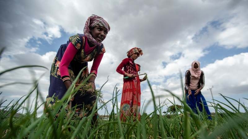 Ethiopian women work to turn over the soil and remove weeds from a field of onions near the village of Merebmieti, an area relatively unaffected by the current conflict, south of Mekele, in the Tigray region of northern Ethiopia, on Wednesday, May 12, 2021. (AP Photo/Ben Curtis)