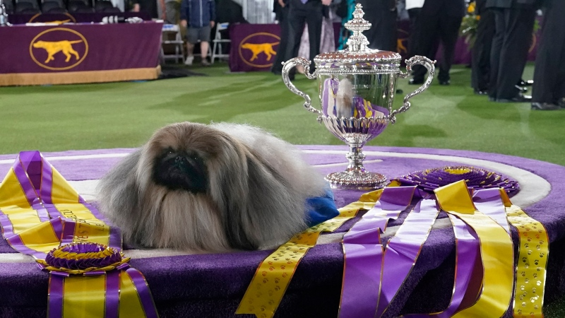 Wasabi, a Pekingese, rests on the winner's podium with its trophy and ribbons after winning Best in Show at the Westminster Kennel Club dog show, Sunday, June 13, 2021, in Tarrytown, N.Y. (AP Photo/Kathy Willens)