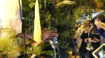 People come to see the rare blooming of the endangered Sumatran Titan arum, or the corpse flower, that is in fool bloom for just a few hours, at the Warsaw University Botanical Gardens on Sunday, June 13, 2021.  (AP Photo/Monika Scislowska)