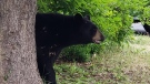 Ottawa police say a black bear settled into a local back yard in the area of Earl Mulligan Drive and Woodroffe Avenue, July 14, 2021. (Photo via the Ottawa Police Service / Twitter)