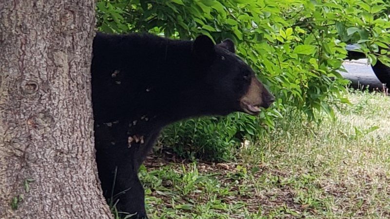 Ottawa police say a black bear settled into a local back yard in the area of Earl Mulligan Drive and Woodroffe Avenue, July 14, 2021. (Photo via the Ottawa Police Service)