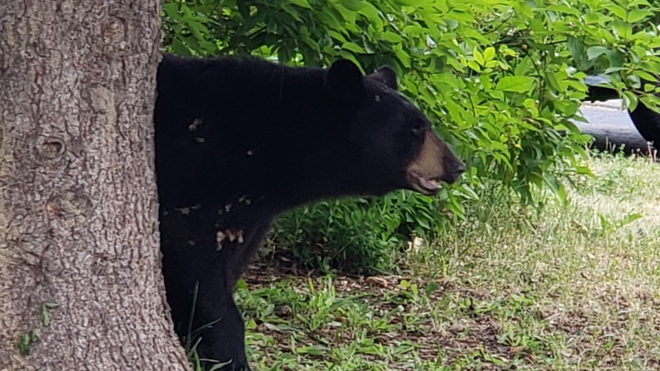 Black bear spotted in Barrhaven