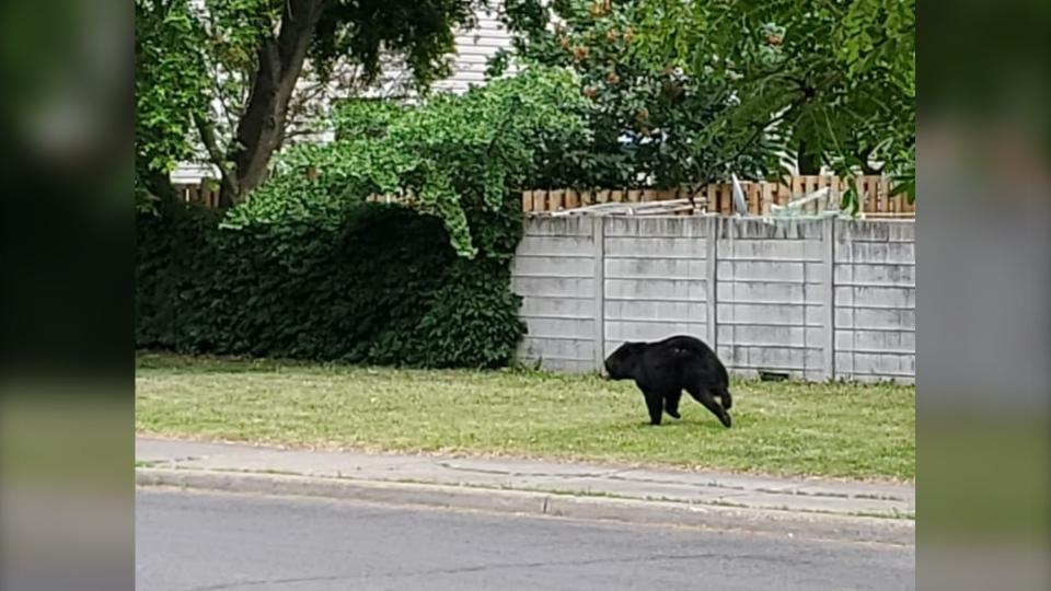 Black bear in Barrhaven