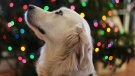 A golden retriever is seen in this file image. (Pexels)