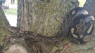Little Lady, a ball python, has been missing for five days after escaping from a residence near Chandler Drive. (Supplied by Ground Search and Rescue KW)