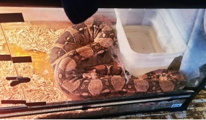 Greater Sudbury's hearing committee will hear an appeal next week from the owner of a python who is fighting an order compelling to give up the pet snake. (Supplied)