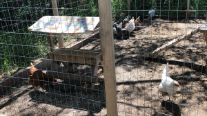 Cindy Dahlen began raising chickens on her farm after she wanted farm fresh eggs and five birds turned into dozens.