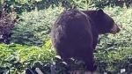 Bear in Barrhaven backyard