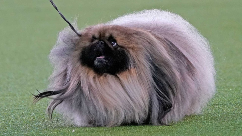 A Pekingese walks with its handler in the Best in Show at the Westminster Kennel Club dog show, Sunday, June 13, 2021, in Tarrytown, N.Y. The dog won the blue ribbon in Best in Show. (AP / Kathy Willens)