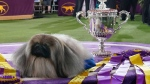 Wasabi, a Pekingese, rests on the winner's podium with its trophy and ribbons after winning Best in Show at the Westminster Kennel Club dog show, Sunday, June 13, 2021, in Tarrytown, N.Y. (AP / Kathy Willens)