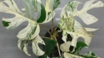 Rare houseplant sold at auction for more than $23,